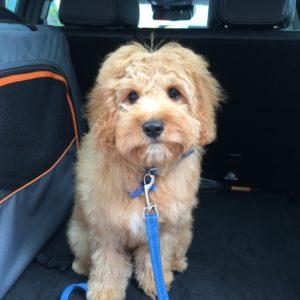 Frankie therapy dog